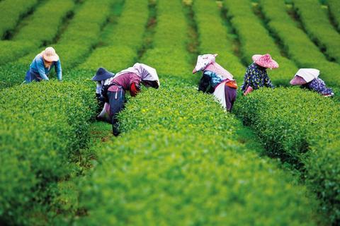 Chenak Tea Blend Fragrance Oil